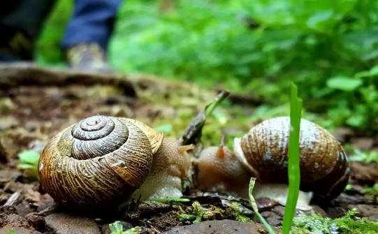 clatsop snails